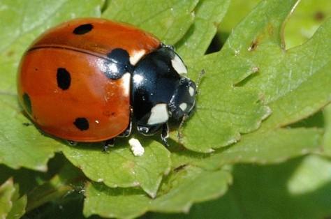 9 Spotted Ladybug