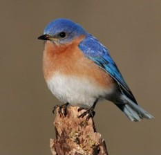 Male Eastern Bluebird. Jeff Nadler, accessed from http://www.dec.ny.gov/animals/55435.html.