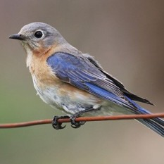 Female Eastern Bluebird. Sandysphotos2009 (20100410_16 Uploaded by Snowmanradio) [CC BY 2.0 (http://creativecommons.org/licenses/by/2.0)], via Wikimedia Commons.