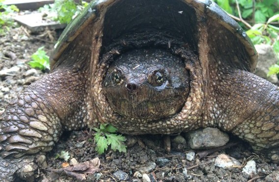 Wildlife Sighting: Snapping Turtle at Fahnestock State Park