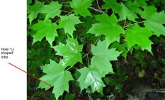 Sugar Maple leaves. Superior National Forest (Acer saccharum 2-jgreenlee) [CC BY 2.0 (http://creativecommons.org/licenses/by/2.0)], via Wikimedia Commons.