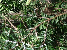 Hemlock Woolly Adelgid on hemlock stems. Look for small, white, cotton-like blobs on the underside of hemlock branches, right at the base of the needles.