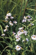 Smooth Blue Aster https://commons.wikimedia.org/wiki/File:S_laeve_habit.jpg.