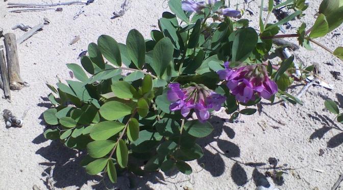 Saving the Sand: Great Lakes Dunes Stewards