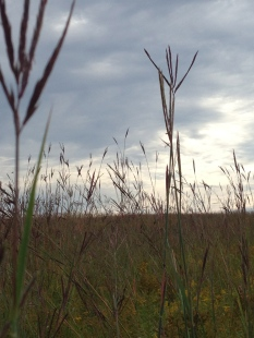 Southwest facing photo of eye-level view of the grassland management area. Big bluestem grass showing dominance in this area, reaching heights of 7 feet or more. Photo by Whitney Carleton.