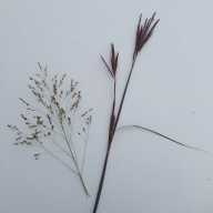 Seed heads of Indian grass (left) and big bluestem grass (right). It is easy to tell the different species apart in these tall warm-season grasses! Photo by Whitney Carleton.