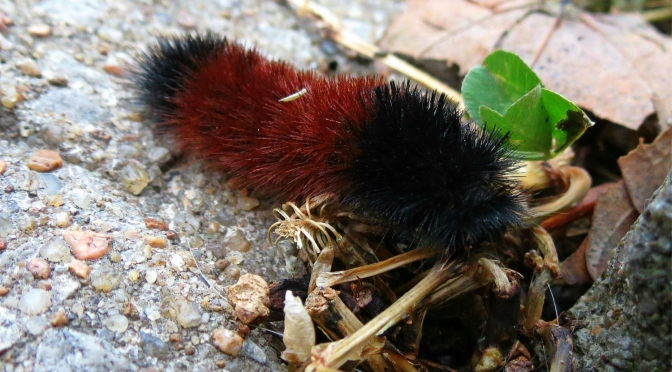 The Folklore of the Woolly Bear