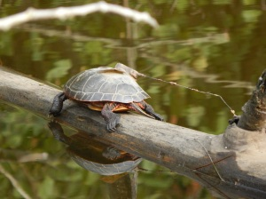 Painted turtle basking on a log with VHF transmitter glued to carapace (top of shell) at the golf course site (urban). Transmitters are used to track animal locations and note movement behavior, nest site selection, and overwintering spots. Note the shedding of scutes (keratin layers) on the top of the turtle shell, which occurs in the middle of summer as turtles grow. Days later this transmitter device fell off the turtle and was relocated along the pond shore. (Danielle Garneau)
