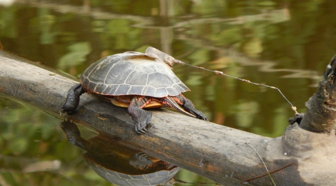 Painted Turtles of Point Au Roche State Park in Clinton County, New York