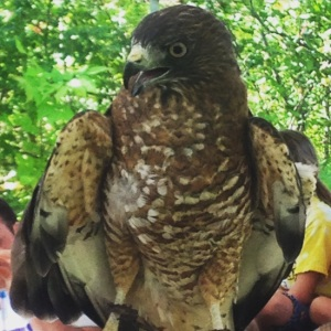 Broad Winged Hawk. Photo by April Thibaudeau, Thacher Park.