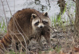 Raccoon, By D. Gordon E. Robertson (Own work) [CC BY-SA 3.0 (http://creativecommons.org/licenses/by-sa/3.0) or GFDL (http://www.gnu.org/copyleft/fdl.html)], via Wikimedia Commons