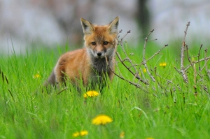 Red Fox Kit, NYS OPRHP