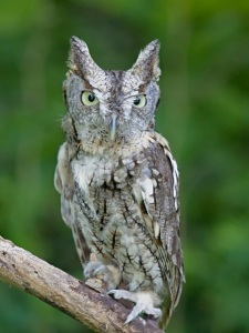 Eastern Screech Owl, By Greg Hume (Own work) [CC BY-SA 3.0 (http://creativecommons.org/licenses/by-sa/3.0)], via Wikimedia Commons