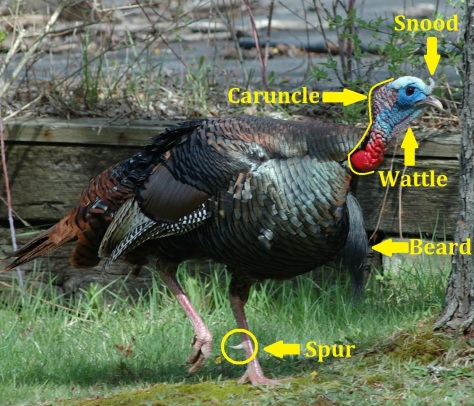 Snood - wattle - caruncle - beard - spur diagram off of a parks turkey picture