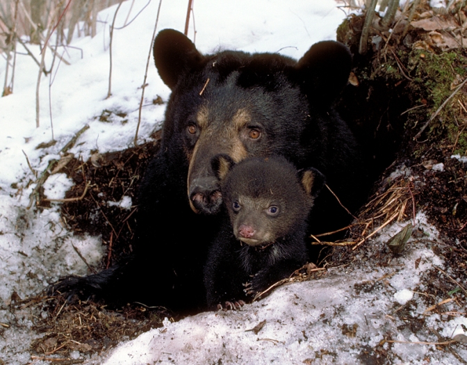 Between Sleeping & Waking: Female Black Bears in Wintertime