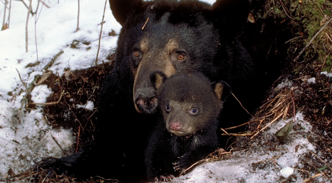 Between Sleeping & Waking: Female Black Bears in Wintertime