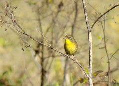 Female Common Yellowthroat, Joe Sebastiani, http://blog.delawarenaturesociety.org/tag/quiz