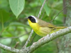 Male Common Yellowthroat, Joshua Chrisman, https://www.michigannature.org/home/news/2012photoresults.html