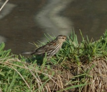 Female Red-Winged Blackbird, OPRHP