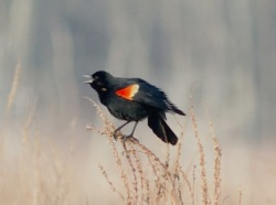 Male Red-Winged Blackbird, OPRHP