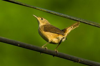 House_Wren_-_Colombia_S4E0879_(16980757130)
