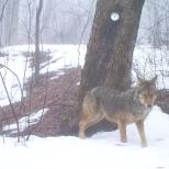 Camera trapped eastern coyote