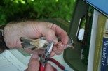 Banding an Eastern White-Crowned Sparrow, photo by Ellie George, c 2010