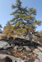 Fire damaged pitch pine, May 2008, OPRHP photo