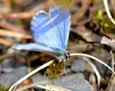 Azure Butterfly