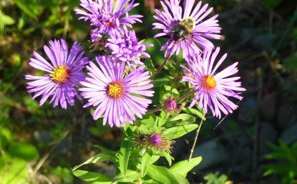 Plants for Our Pollinators