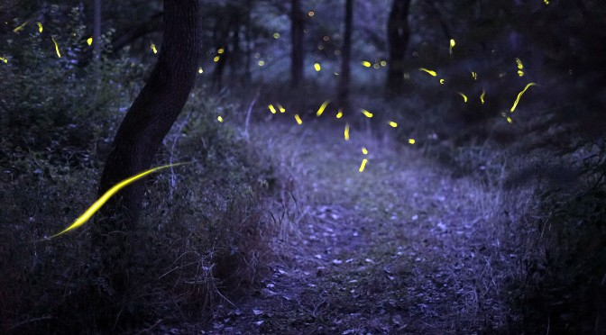 News Flash! Fireflies Are Flashing In Allegany State Park