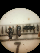 Southern pine beetle adults somewhat resemble a chocolate sprinkle. These magnified adults are shown over a 1mm ruler. Photo credit: Molly Hassett, NYS DEC