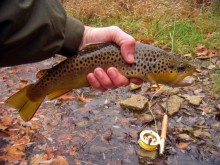 Brown trout, Wikimedia Commons, https://commons.wikimedia.org/wiki/File:Oatka_Creek_brown_trout.jpg
