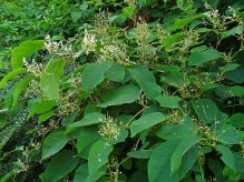 Japanese knotweed (Fallopia japonica) forms a dense cover that can crowd out native vegetation. This species can greatly affect the biodiversity in habitats. Photo by: By H. Zell (Own work) [GFDL (http://www.gnu.org/copyleft/fdl.html) or CC BY-SA 3.0 (http://creativecommons.org/licenses/by-sa/3.0)], via Wikimedia Commons