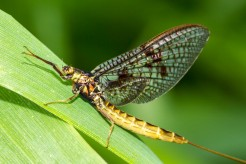 Mayfly, also favorite prey of brook trout, Wikimedia Commons, https://commons.wikimedia.org/wiki/File:Yellow_mayfly_on_leaf.jpg