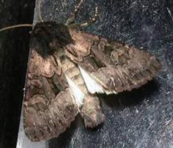 A rare noctuid moth (Apamea burgessi) Photo by H. McGuiness