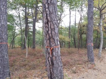 Infested pitch pine trees marked with flagging for suppression (cutting). Photo credit: Molly Hassett, NYS DEC