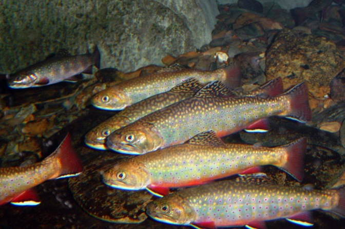 All About the Brook Trout: New York's State Fish