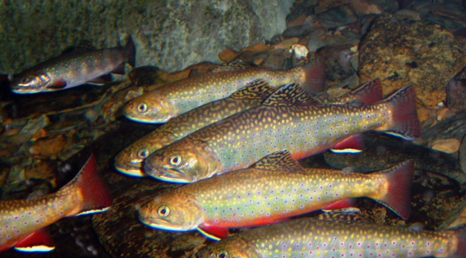 All about the brook trout new york s state fish new for New york state fish