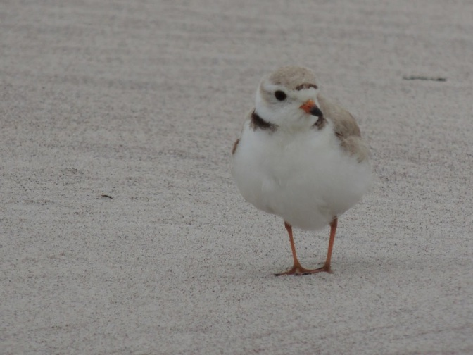 Plover Stewards: Guardians of the Endangered Piping Plover