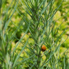 Ladybug (Coccinellidae family) and tiny insects (unidentified) on new shoots of pitch pine (Pinus rigida). Photo by Lindsey Feinberg