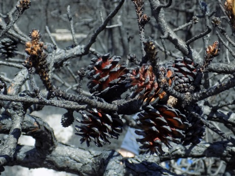 Pitch Pine Cones
