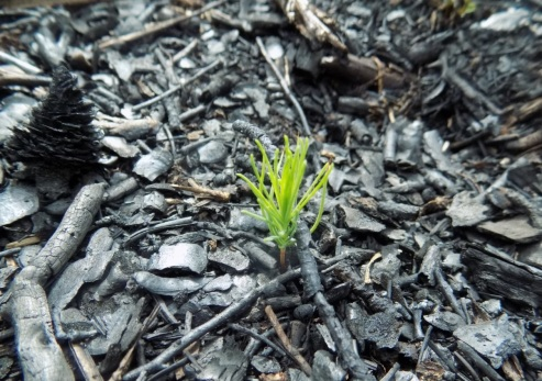 Pitch Pine Seedling