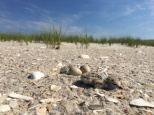 A newly hatched Piping Plover chick! Photo by Kim Rondinella.
