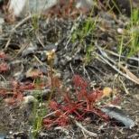 The spatulate-leaved sundew (Drosera intermedia) and other plants begin to appear again in the burned wetlands. Photo by Lindsey Feinberg