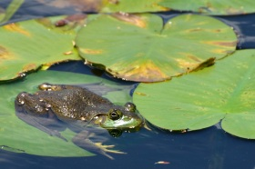 Bull frog, photo by State Parks
