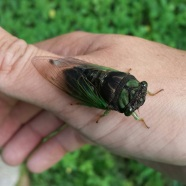 Cicada, photo by Matt Nusstein, State Parks