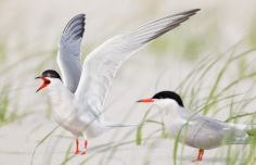 Common Terns can make a lot of noise, but are fun to watch in flight, photo by State Parks