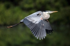 Great Blue Heron are common in the marshes and shores, photo by State Parks