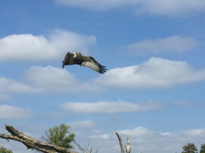 Oprey in flight near our kayaks, photo by Tina Spencer, State Parks